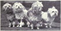Китайские породы. Экскурс в историю. Малая львиная собака
