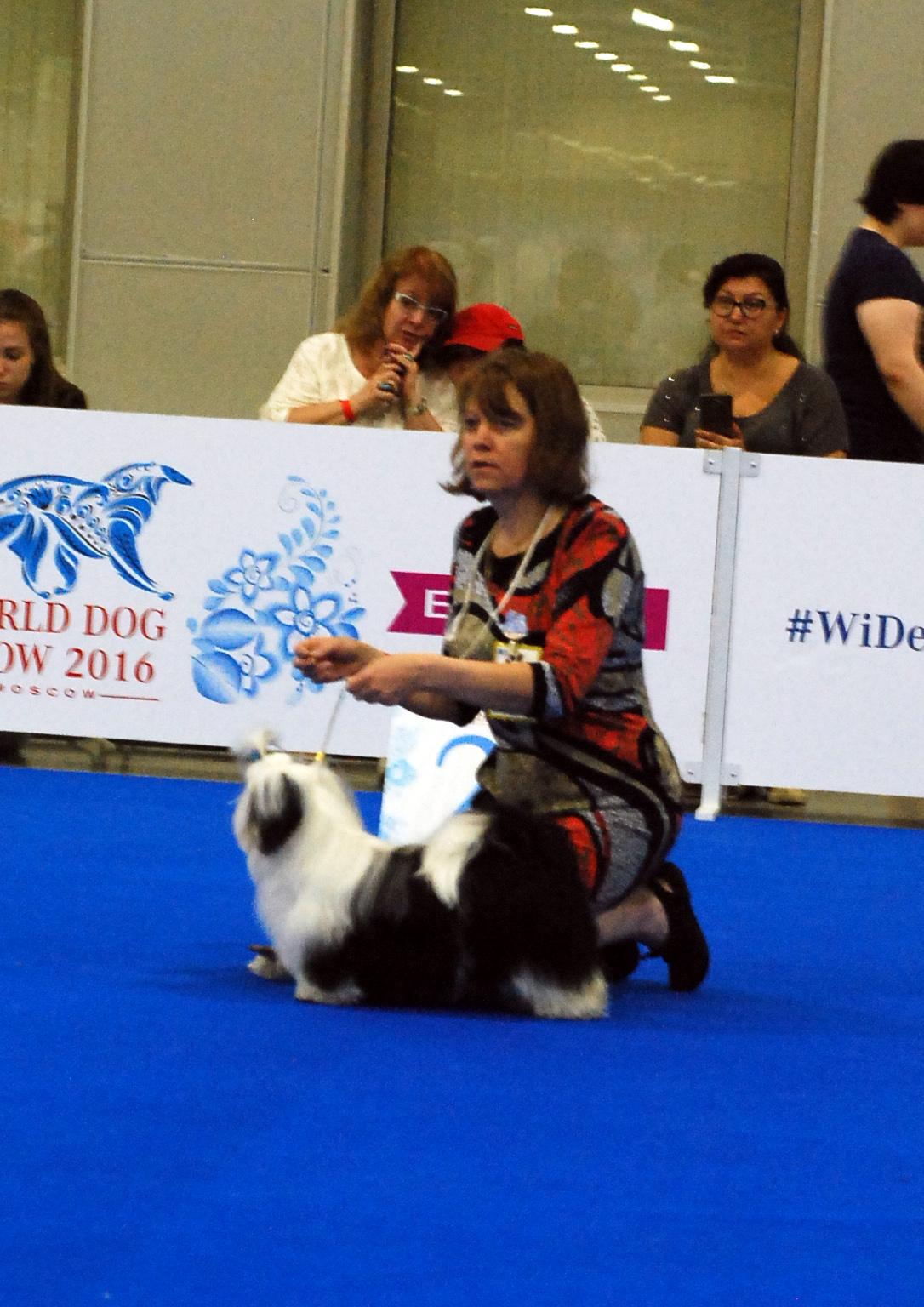 Лучшая сука-щенок на специализированной выставке ши тцу в рамках WDS'2016