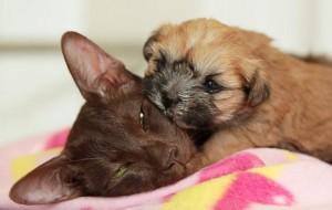 Новорожденный щенок Ши Тцу был выкормлен кошкой