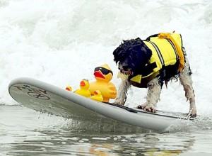 Ши Тцу Тоби - призер соревнований по серфингу среди собак
