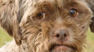 пес с человеческим лицом