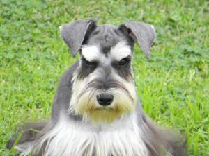 Самые популярные породы собак в мире. Цвергшнауцер