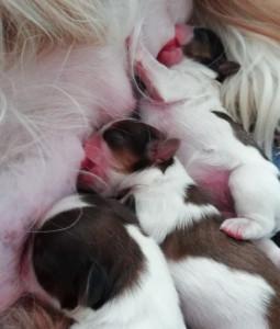 Наши щенячьи новости: Каси стала мамой
