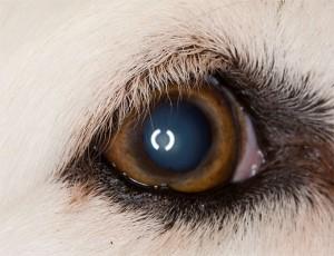 dog_eye