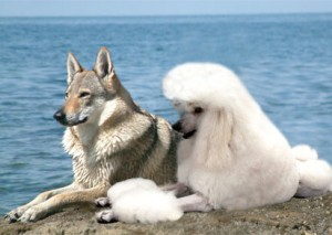 Волки-не-являются-предками-собак-свидетельствуют-генетики